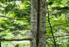 花粉をガードする「トドマツ」森の香り