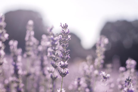 スパイクラベンダーの香りと効能・使い方
